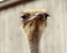 Загородная экскурсионная поездка на страусиную ферму «Татарский страус»