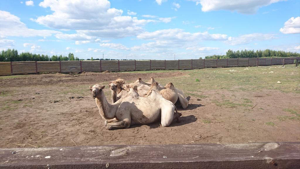 Загородная экскурсионная поездка на верблюжью ферму «Царство верблюдов» 4