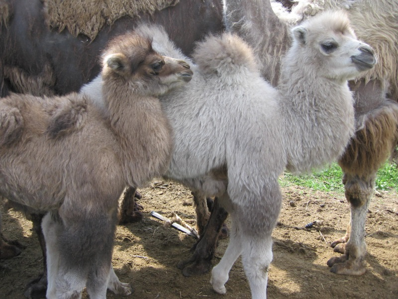 Загородная экскурсионная поездка на верблюжью ферму «Царство верблюдов» 3