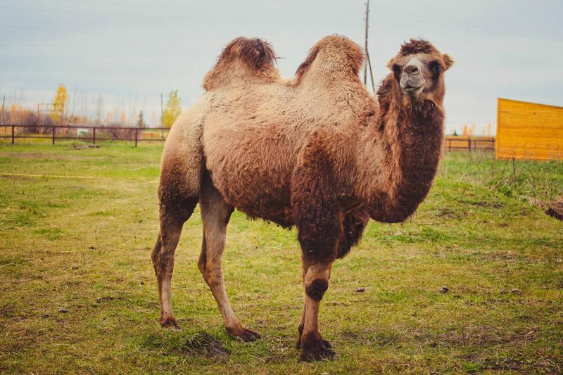Загородная экскурсионная поездка на верблюжью ферму «Царство верблюдов» 1